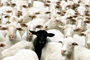 moutons-mobiles-partages